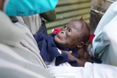 Bayi Orangutan lahir di Jogja, Ibunya Enggan Menyusui