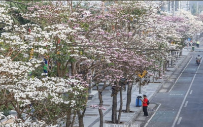 Tabebuya Bermekaran di Surabaya, Netizen: Sakura di Gurun Sahara